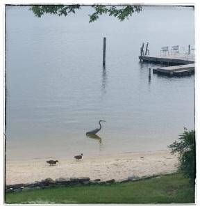 lake ducks heron
