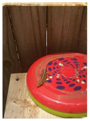 lizard frisbee